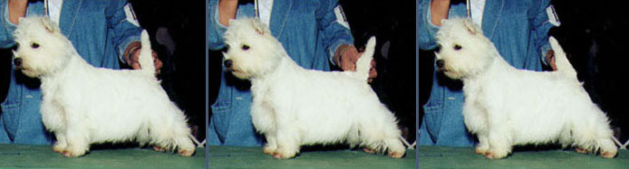 Westie at 12, 1 and 11
