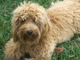 Little Red Australian Labradoodle-1
