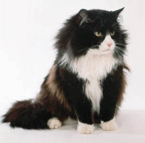 Norwegian-forest-cat-1