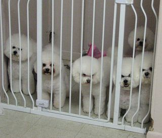 Herd of bichons