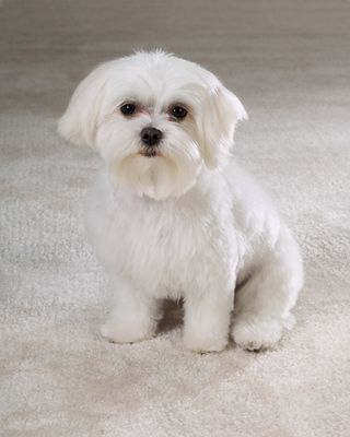 PetEdge Maltese Photo