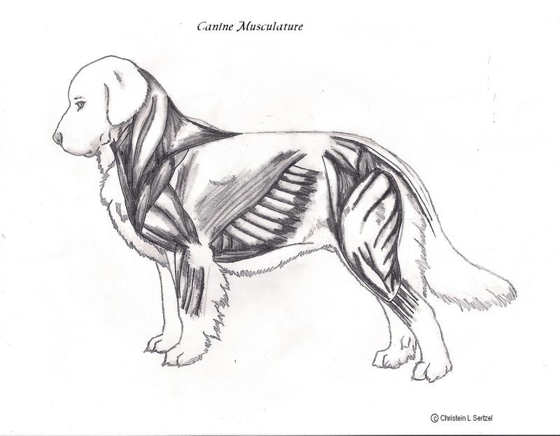 Unlabeled canine muscles0001
